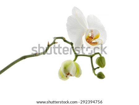 white orchid flower with fresh buds isolated on white background - stock photo