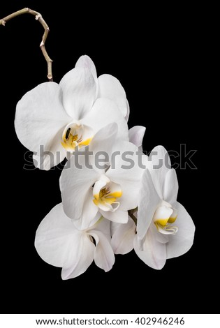 White orchid flowers isolated on black background. White Orchid.