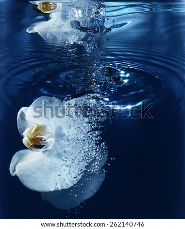 white orchid in water on blue background, close-up - stock photo