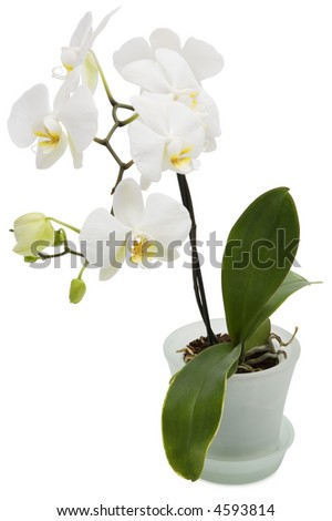 White Orchid- isolated on white - stock photo
