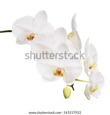 White orchid isolated on white background. Closeup. - stock photo