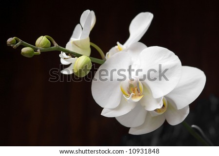 white orchid on black - stock photo
