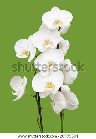 white orchid on green background - stock photo