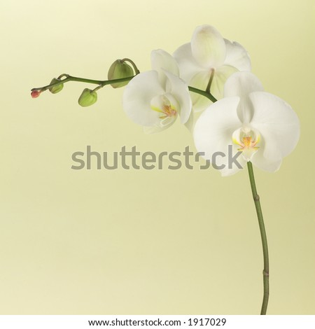 White orchid on soft green - stock photo