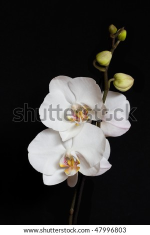 White Orchid on the black background