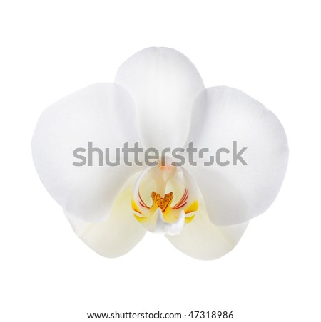 White Orchid over white - stock photo