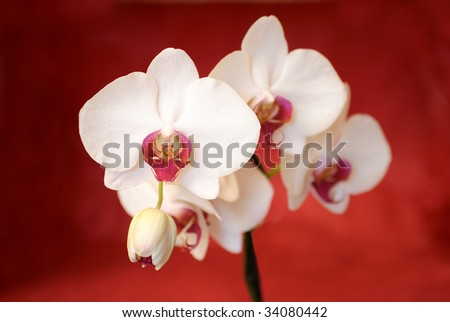 White orchids before red background