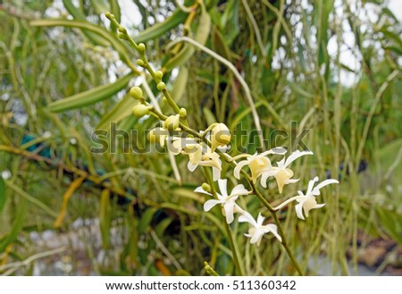 White orchids flower in the garden on green background