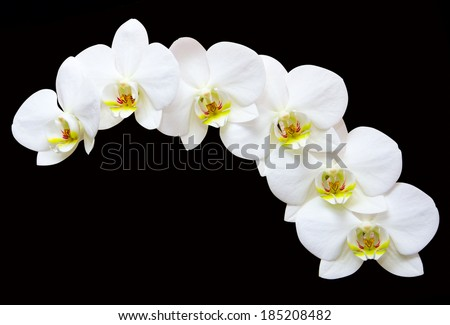 White orchids flowers on a black  background
