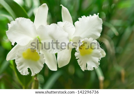 White orchids on green background
