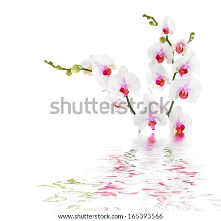 white orchids on water - isolated - stock photo