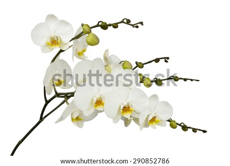 White orchids with yellow middles isolated on white background