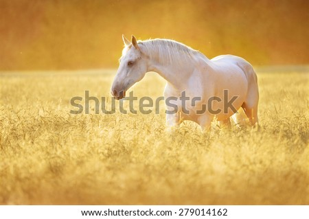 White Orlov trotter horse in rye, golden sunset - stock photo