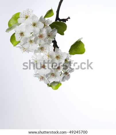White ornamental pear flowers bloom in Spring