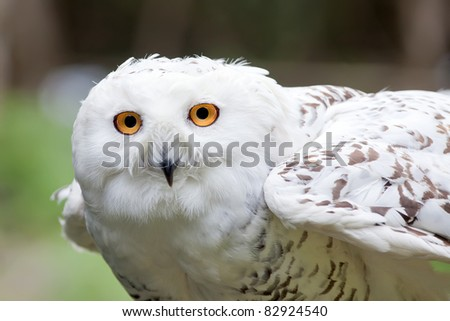 White owl (Bubo scandiacus) ready to fly - stock photo
