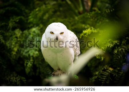 White Owl ; Hedwig - stock photo