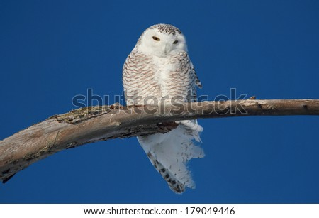 white owl in nature - stock photo