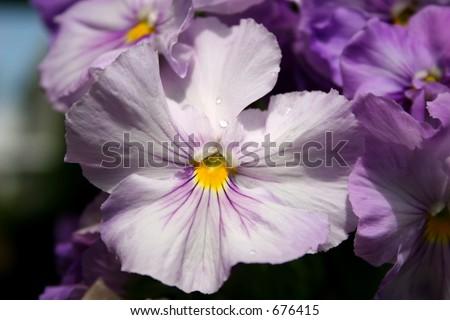 White Pansy - stock photo
