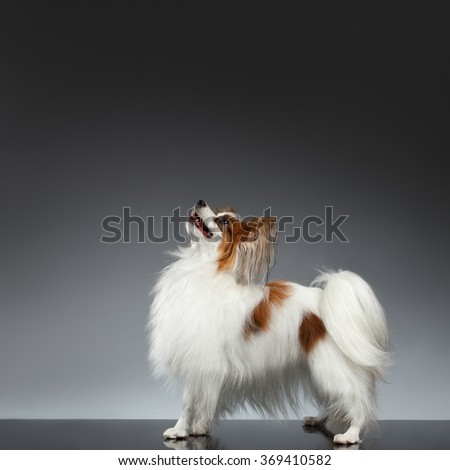 White Papillon Dog Stands and Looking Up on black background - stock photo