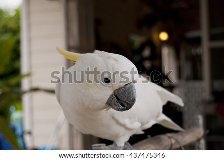 White Parrot, Sulphur-crested cockatoo on the wooden bar. - stock photo