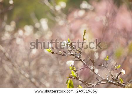white peach blossom flower blooming - stock photo