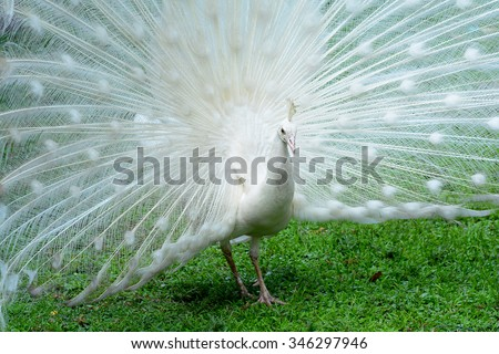 White Peacock, Indian Peafowl - stock photo