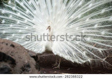 White peacock with beautiful