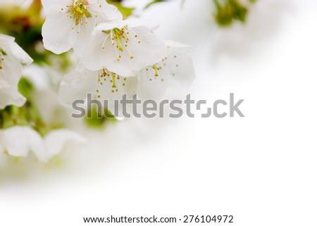 White pear petals, macro shot.Spring Garden. - stock photo