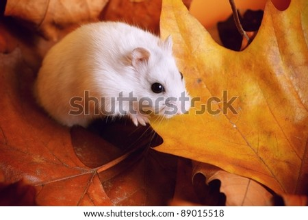 White pearl russian hamster on autumn leafs