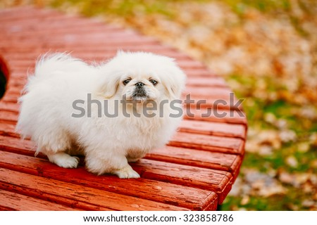 White Pekingese Pekinese Peke Whelp Puppy Dog On Wooden Bench In Autumn Park