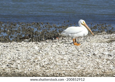 White pelican and oyster catchers on a sand bar in Aransas National Wildlife Refuge, winter home to migrating birds