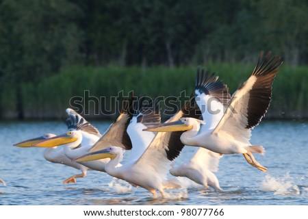 White Pelican flock in flight - stock photo