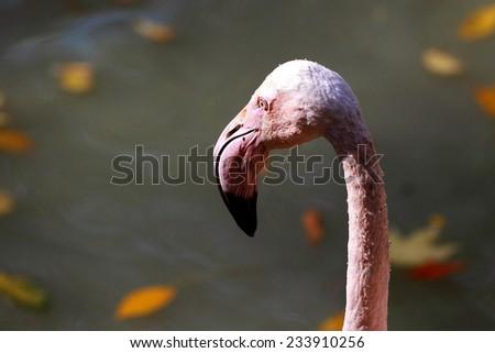White pelican head with a large beak closeup - stock photo