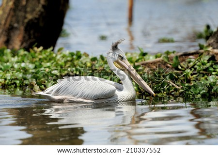 White pelican in Lake Nakuru National Park - stock photo