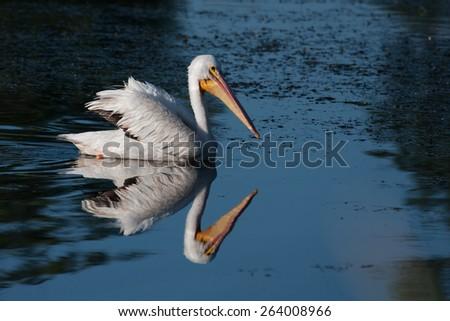 White Pelican (Pelecanus erythrorhynchos) swimming in a lake - stock photo