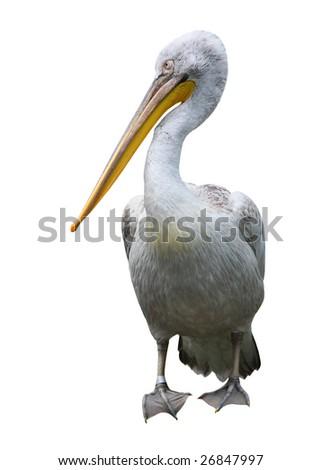 White Pelican - Pelecanus onocrotalus - stock photo