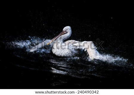 White pelican swimming in pond. Drops of water. Big bird. - stock photo