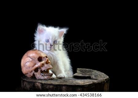 White persian  kitten and the skull,  lowkey  light - stock photo