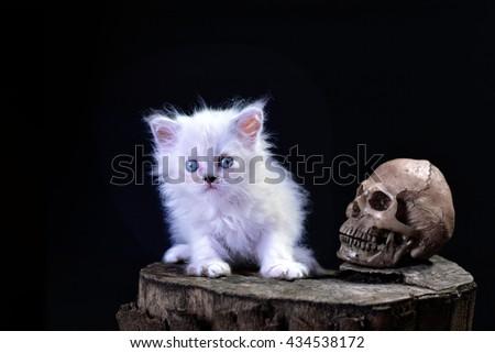 White  persian  kitten and the skull , lowkey tone - stock photo