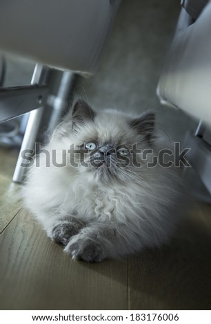 White persian kitten hiding