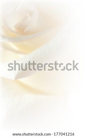 white petal rose soft background - stock photo