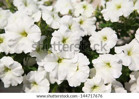White petunias closeup - stock photo