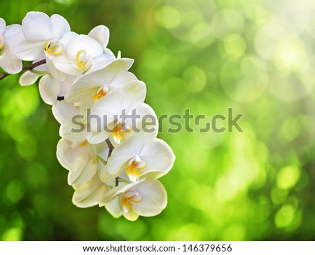 White Phalaenopsis Orchid or Moth Orchid against soft focus trees and sunlight - stock photo