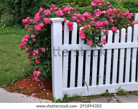 white picket fence with rose bush