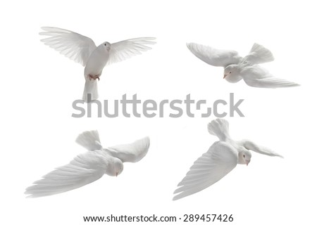 white pigeon in flight on a white background