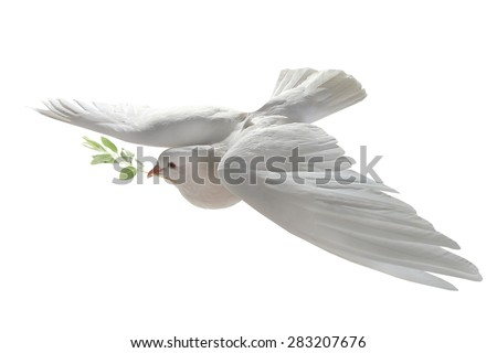 white pigeon in flight on a white background with an olive branch