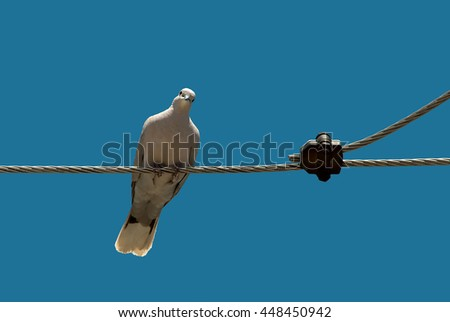 White pigeon on the electric wire - stock photo