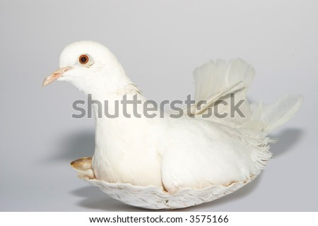 White pigeon portrait in shell nest