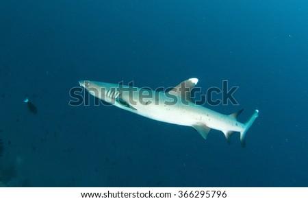 White pin Shark in Sudan - stock photo