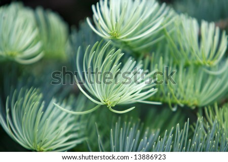 white pine tree sprout - stock photo